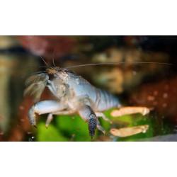 Atyopsis gaboensis - Kreveta raččí