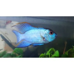 Andinoacara pulcher neon blue