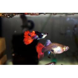 "Poecilia reticulata ""Dumbo saphire red tail"""